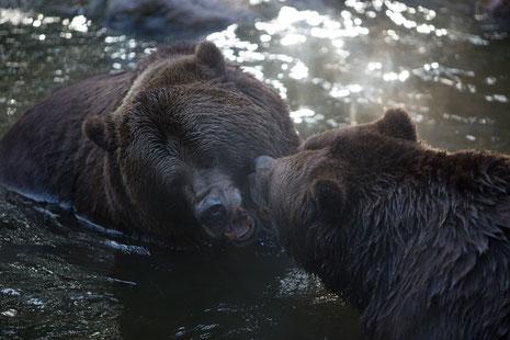 Weil es noch zu hell ist werden die Braunbären Fred und Frode besucht.