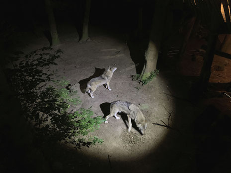 Die Wölfe warten im Taschenlampenlicht auf die Fütterung