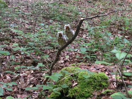 Jungvögel im Wald (Foto: Christian Henkel)