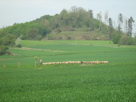 Auf dem Weg  zur nächsten Weide
