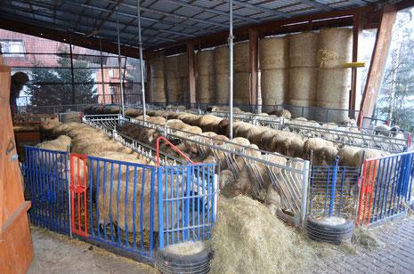 Von Mitte Januar bis Ende April sind die Schafe im Stall zum Lammen
