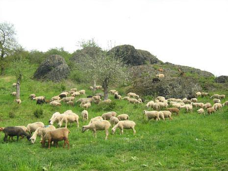 Schafe im Naturschutzgebiet
