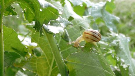 juvenile escargot