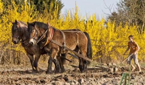Feldbearbeitung mit Pferden, Foto: Familie Sommer