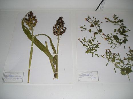 Voorbeelden herbarium hortus