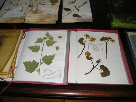 Herbarium fam. J.Jonker  collectie herbarium frisicum