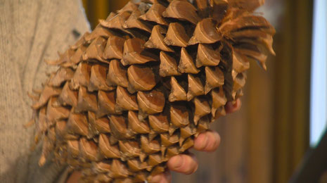 Pinus coulteri D.Don ruim 1 kilo gewicht