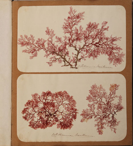 Zeeherbarium David Landsborough 1854