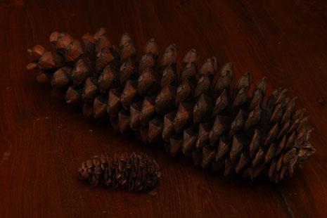 Pinus lambertiana Douglas  Noord-Amerika totale lengte grote kegel 43 cm lang. Kleine kegel is van Pseudotsuga menziesii[Mirbo]Franco    collectie herbarium frisicum