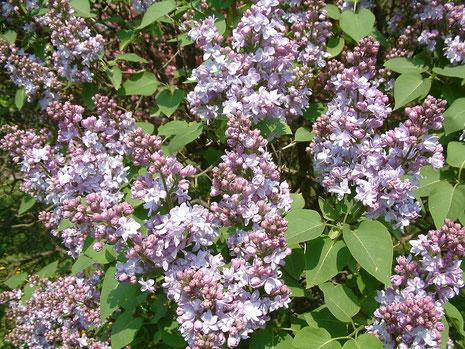 Syringa vulgaris L. in oude tuin bij Kolonishuisje te Frederiksoord