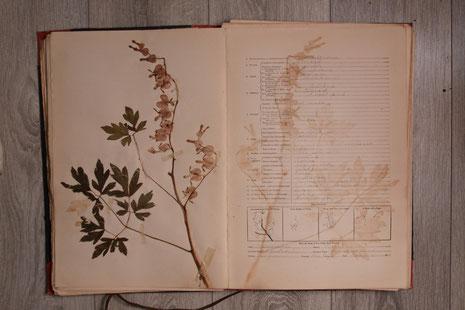 Onderdeel Herbarium 1914  Dicentra spectabilis [L.] Lem.