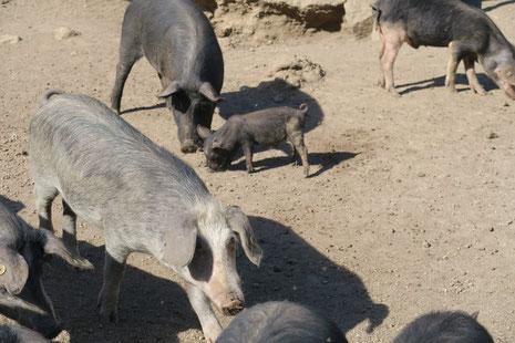 Schweinkram in den Bergen!