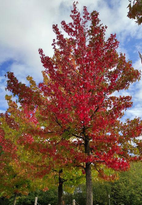 Gedicht für den Herbst: Der Feuerbaum (Die Runkel)