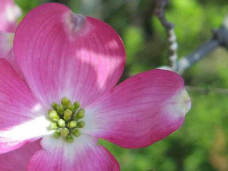 ピンクのハナミズキ花水木
