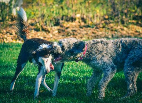Le chien agressif