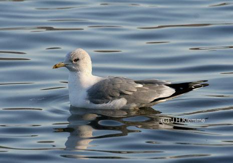 Sturmmöwe (Larus canus) Adulter Vogel (Laacher See) [Februar]