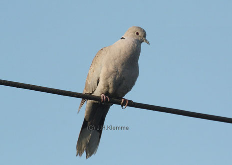 Türkentaube (Streptopelia decaocto) Adulter Vogel [Juli]