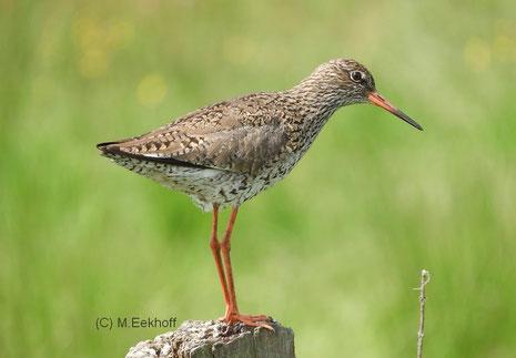 Rotschenkel (Tringa totanus) adulter Vogel (Nähe Dümmer See) [Mai]