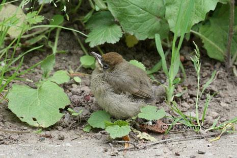 Mönchsgrasmücke (Sylvia atricapilla) gerade aus dem Nest gekletterter, noch nicht flugfähiger Jungvogel [Juni]