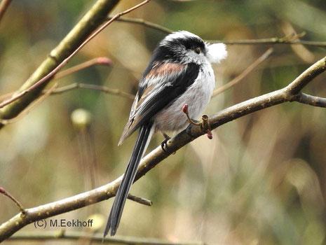 """Schwanzmeise (Aegithalos caudatus) Adulter Vogel der Unterart """"europaeus"""" mit Flaumfeder im Schnabel [März]"""