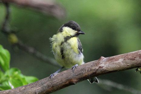 Kohlmeise (Parus major) Auf Fütterung wartender Jungvogel [Juli]
