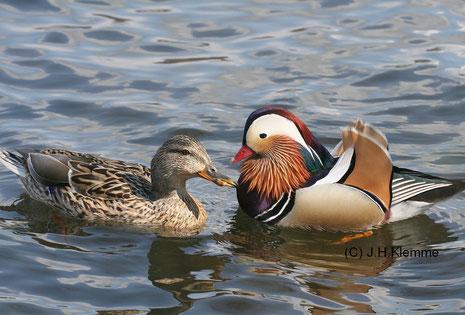Ungleiches Paar: Mandarinenten-Erpel mit Stockenten-Weibchen [April]