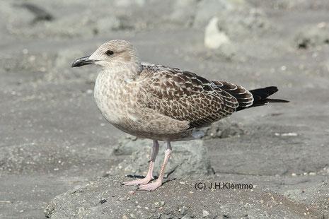 Silbermöwe (Larus argentatus) Jungvogel im ersten Jahr an der Küste bei Westkapelle, NL [September]