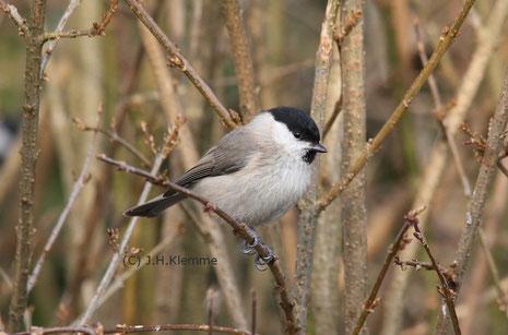 Sumpfmeise (Poecile [Parus] palustris) Adulter Vogel (im 1. Frühjahr ?) [Februar]