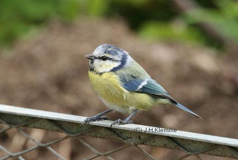 Blaumeise (Cyanistes caeruleus) Halberwachsener Vogel nach weitgehend abgeschlossener Jugendmauser [September]