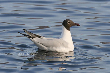 Lachmöwe (Chroicocephalus ridibundus) Adulter Vogel im Prachtkleid. Laacher See, RLP [Februar]