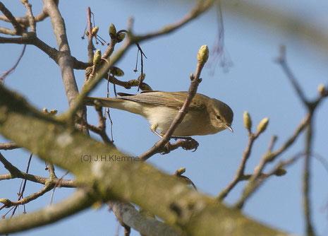 Fitis (Phylloscopus trochilus) Jungvogel (Jugendmauser) [September]