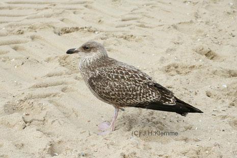 Heringsmöwe (Larus fuscus) Jungvogel im ersten Jahr (Bildmitte) mit Altvogel (Hintergrund). Küste bei Westkapelle, NL [September]