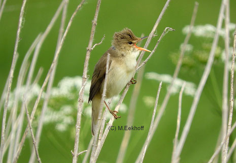 Sumpfrohrsänger (Acrocephalus palustris) Singendes Männchen in der Nähe vom Dümmer See, NS  [Mai]