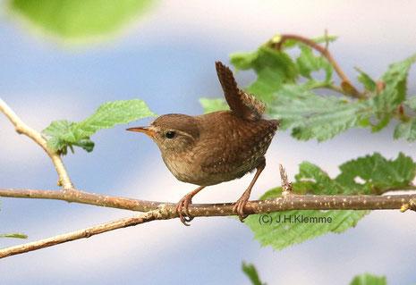Zaunkönig (Troglodytes troglodytes) Adulter Vogel (aufgrund des Gesangs als Männchen angesprochen) [Mai]