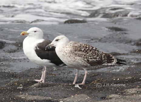 Mantelmöwe (Larus marinus)  Jungvogel, vermutlich im 2ten Jahr (rechts) und Altvogel (links). Küste bei Westkapelle, NL [September]