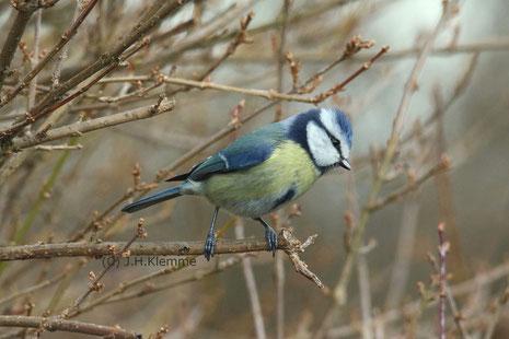 Blaumeise (Cyanistes [Parus] caeruleus) Fütterndes Weibchen am Nistkasten mit Jungvogel [Juni]