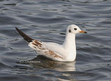Lachmöwe (Chroicocephalus ridibundus) Selbständiger Jungvogel [Laacher See] (September)