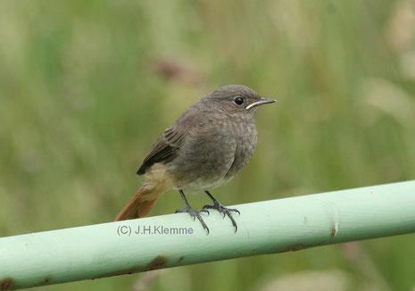 Hausrotschwanz (Phoenicurus ochruros) Noch unselbständiger Jungvogel [Juni]
