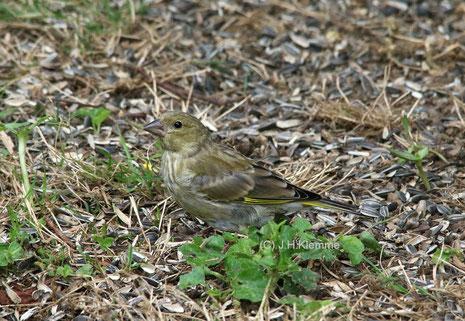 Grünfink (Carduelis chloris) selbständiger Jungvogel [Juli]