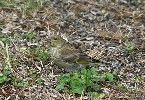 Grünfink (Carduelis chloris) Selbständiger Jungvogel [September]