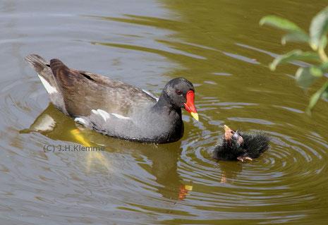 Teichhuhn (Gallinula chloropus) Brütendes Weibchen auf Nest (Stadtpark von Rheinbach, NRW) [Mai]