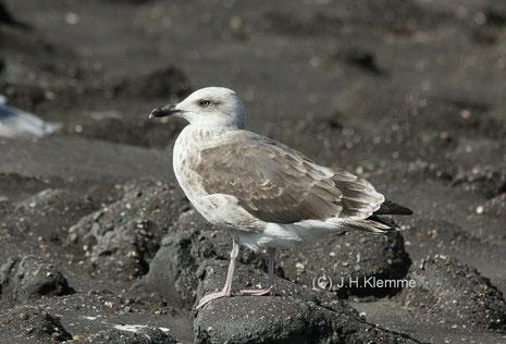 """Heringsmöwe (Larus fuscus) Adult (Subsp. """"intermedius"""" ?) Küste von Westkapelle, NL  [September]"""