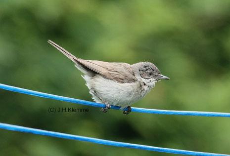 Klappergrasmücke (Sylvia curruca) adulter Vogel [Juni]. Das Nest befand sich in unmittelbarer Nähe einer Wäschespinne. Die Altvögel benutzten die Wäscheleinen für einen kurzen Zwischenstopp beim Anflug auf das Nest.