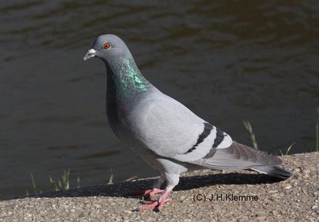 Straßentaube (Columba livia f. domestica) Adulter Vogel am Moselufer in Cochem, RLP.  Färbung entspricht derjenigen der  Felsentaube-Stammform [Juni]