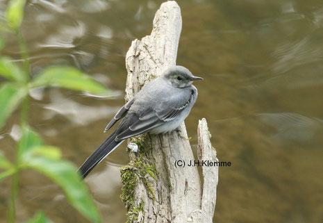 Bachstelze (Motacilla alba) selbständiger Jungvogel [Juni]