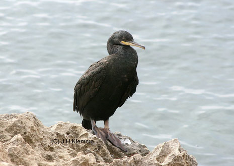 Krähenscharbe (Palacrocorax aristotelis) adulter Vogel, S-Küste von Mallorca [Oktober]