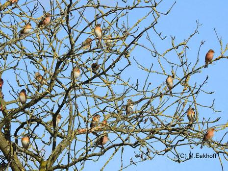 Gruppe von Bergfinken (Fringilla montifringilla) und Buchfinken (Fringilla coelebs) in der Nähe vom Dümmer See, NS [Februar]