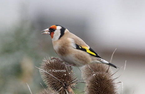 Stieglitz (Carduelis carduelis) Adulter Vogel (Männchen ?) [Dezember]