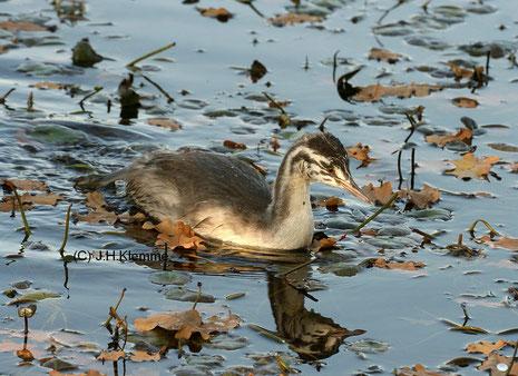 Haubentaucher (Podiceps cristatus) weitgehend selbständiger Jungvogel [Juni]