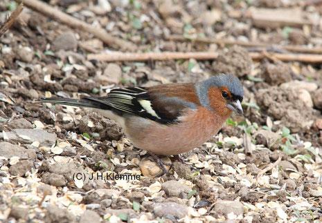 Buchfink (Fringilla coelebs) Männchen, Übergangskleid [Oktober]